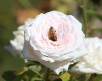 Biene in einer Rose lizenzfreies stockbild