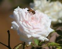 Biene in einer Rose stockfotografie