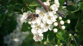 Biene erhält Blütenstaub von den Blumen und von den Fliegen weg stock footage