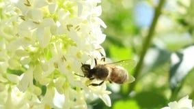 Biene extrahiert Blütenstaub stock video