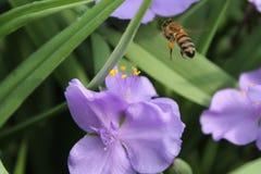 Biene fand eine schöne Blume, um den köstlichen Nektar zu erhalten stockfotos