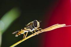 Biene-Fliege auf dem Stroh Stockfotografie