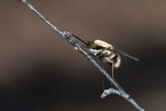 Biene-fliegen Sie Stockfotografie