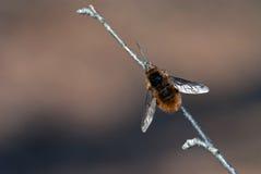 Biene-fliegen Sie Stockbilder