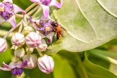 Biene fliegt auf eine Blume, um seine Nahrung zu sammeln lizenzfreie stockfotos