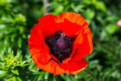 Biene fliegt auf eine rote Mohnblume auf einem grünen Hintergrund im Garten Stockbild