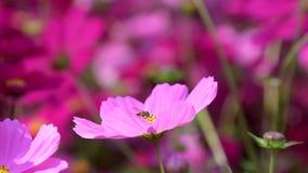 Biene halten Blütenstaub der rosa Kosmosblume stock video