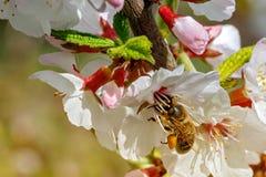 Biene hinter Arbeit lizenzfreie stockfotografie