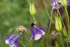 Biene, Hummel in den Glockenblumen Lizenzfreie Stockfotografie