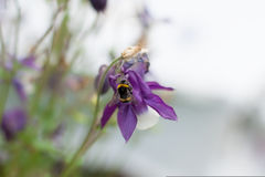 Biene, Hummel in den Glockenblumen Stockbild