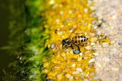 Biene im Becken Stockfotos