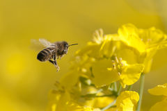 Biene im Flug Lizenzfreies Stockfoto