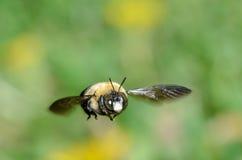Biene im Flug Lizenzfreie Stockfotos