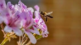 Biene im Flug, die einer Blume sich nähert, um Blütenstaub zu sammeln lizenzfreie stockfotos