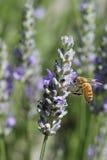 Biene im Garten Lizenzfreies Stockfoto