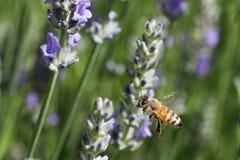 Biene im Garten Stockfoto