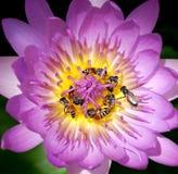 Biene im purpurroten schönen Lotos Stockbild