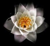 Biene im Wasser lilly Stockfoto