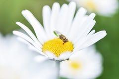 Biene, Imker sitzt auf einer Blumenkamille und sammelt Blütenstaub lizenzfreies stockfoto