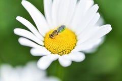 Biene, Imker sitzt auf einer Blumenkamille und sammelt Bl?tenstaub lizenzfreies stockbild