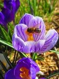 Biene ist auf dem schönen Frühlingskrokus stockbild
