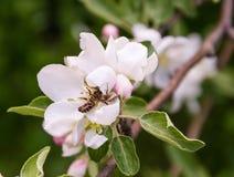 Biene ist in die Kupplungen der Spinne auf der Blume des Apfelbaums gefallen Stockfotografie