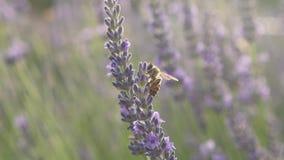 Biene klettert auf der Blume und fliegt zu einer nahe gelegenen Blume stock video footage