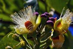 Biene kommt, die Pequi-Blume zu saugen lizenzfreie stockfotografie
