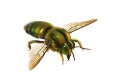 Biene, metallischer grüner Tischler Lizenzfreies Stockfoto