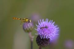 Biene mit Ameise Lizenzfreie Stockbilder