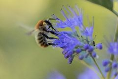 Biene mit blauer Blüte im Garten lizenzfreies stockfoto