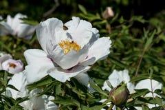 Biene mit dem Blütenstaub über einer weißen Pfingstrosenblume lizenzfreie stockbilder