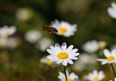 Biene mit dem Blütenstaub Lizenzfreie Stockfotografie
