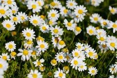 Biene mit dem Blütenstaub Lizenzfreie Stockfotos