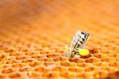 Biene mit dem Blütenstaub auf Bienenwabe Stockbild