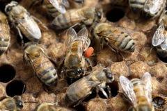 Biene mit dem orange Blütenstaub auf Beinen im Bienenstock Lizenzfreie Stockfotos