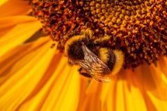 Biene mit einer netten Sonnenblume stockfotos
