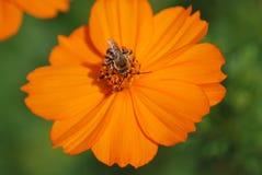 Biene mit einzelner Blume Lizenzfreies Stockbild