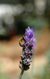 Biene mit Lavendel Lizenzfreie Stockfotografie