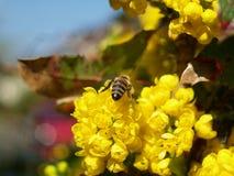 Biene mit Mahony Stockfotografie