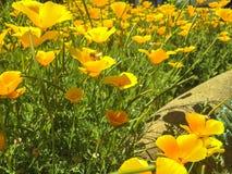Biene mit Mohnblumen Stockbilder