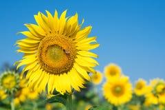 Biene mit Sonnenblume Lizenzfreie Stockfotos