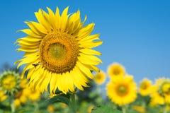 Biene mit Sonnenblume Lizenzfreies Stockfoto