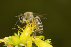 Biene mitten in Blüte Lizenzfreies Stockfoto