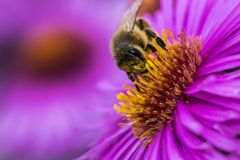 Biene mitten in einer purpurroten Blüte stockbild