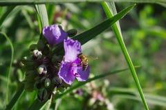 Biene montiert Blütenstaub Lizenzfreie Stockbilder