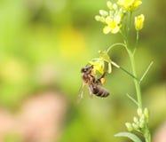 Biene montiert Honig Stockbilder