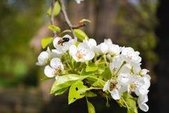 Biene montiert Honig Stockfoto