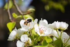 Biene montiert Honig Stockfotos