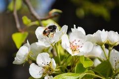 Biene montiert Honig Lizenzfreies Stockfoto